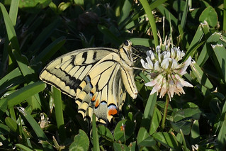 Swallowtail (Papilio machaon) Butterfly