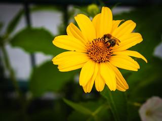 Honigbiene auf Asteracea