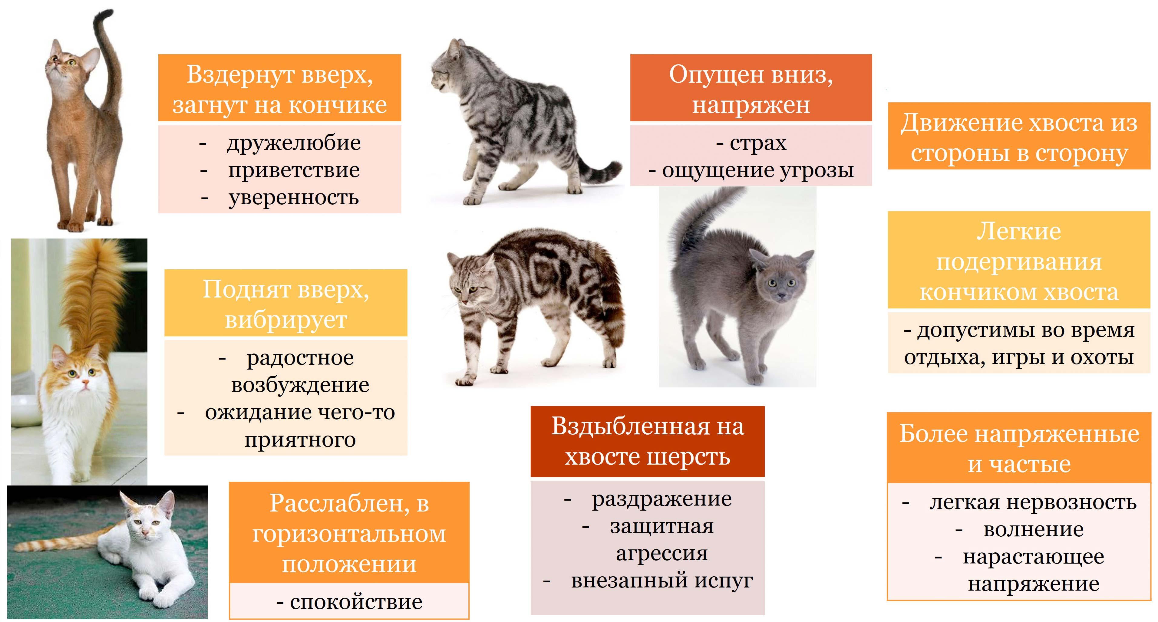Знаки хвоста у кошек