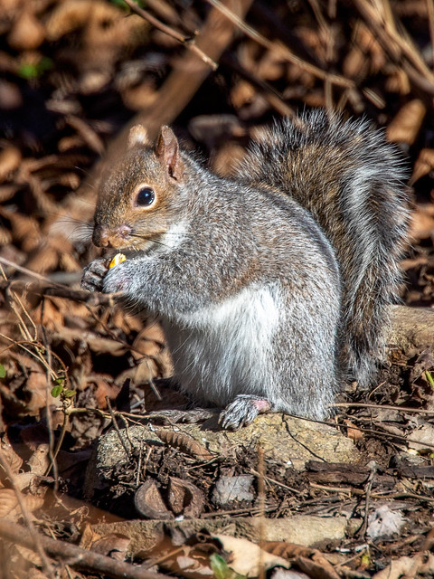 Eastern Gray Squirrel with corn