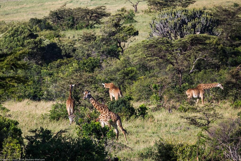 Girafe_septembrie 08_Maasai Mara_gradina