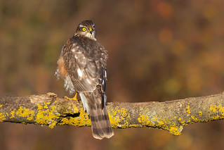 Sparrowhawk (Accipiter nisus) | by Wildlife Photography by Matt Latham