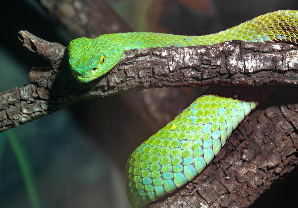 Rowleys Palm Viper