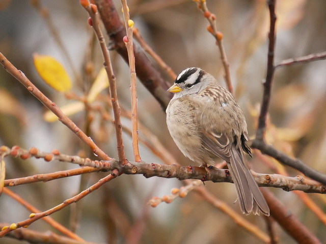 White-crowned Sparrow, Panasonic DMC-G85, LUMIX G VARIO 100-300/F4.0-5.6II