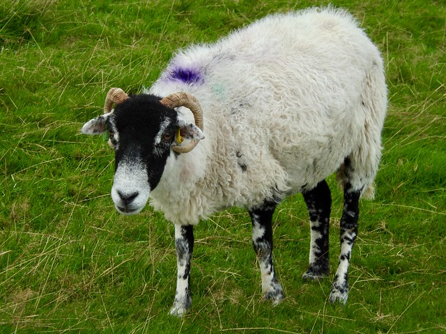 Friendly Sheep., Fujifilm FinePix S4500