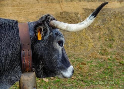 Vaca Tudanca.