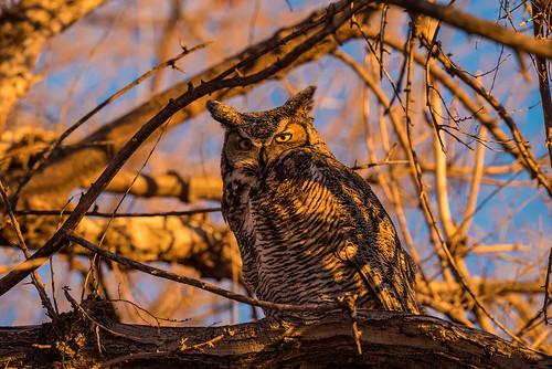1811_1648 Great Horned Owl