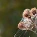Burdock Webs