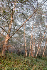 Trees-with-Afternoon-Firelight-2