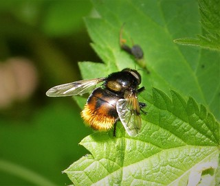 Volucella bombylans male