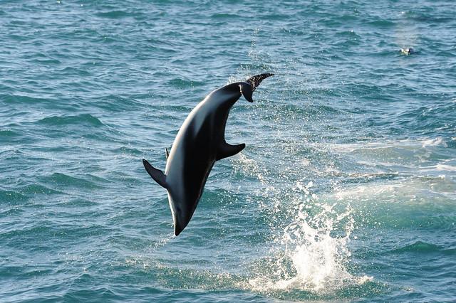 Dusky dolphin acrobatics 1, Nikon D700, AF VR Zoom-Nikkor 80-400mm f/4.5-5.6D ED