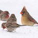 003 female red cardinal and friends