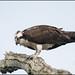 VA Osprey