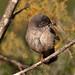 Curruca cabecinegra♀ (Sylvia melanocephala)
