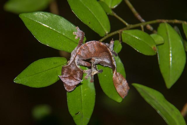 Satanic Leaf-tailed Gecko at Ramanofana National Park S24A8223