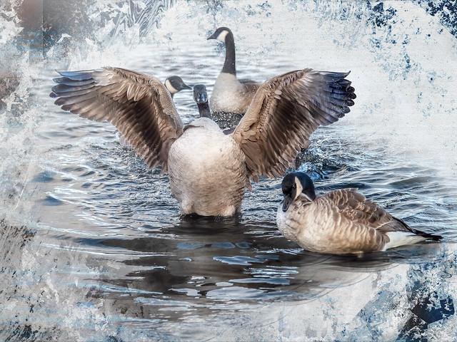 four geese a flappin, Olympus E-M1MarkII, Lumix G Vario 100-300mm F4.0-5.6 Mega OIS