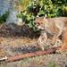 Lynx chasing a prey simulator
