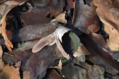 Eucalyptus leaf litter