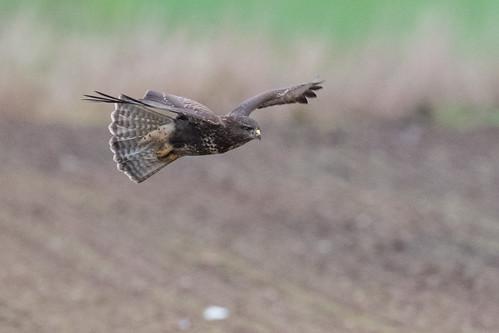 Buse variable Buteo buteo - Common Buzzard