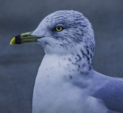 Ringed-billed Gull