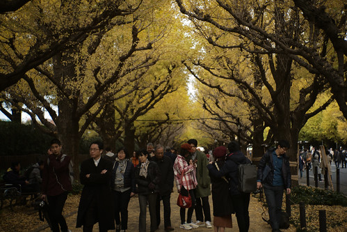 Ginko row of trees