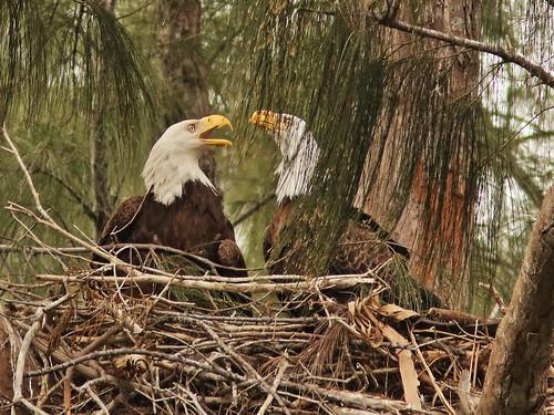Bald Eagle 6135-20190125