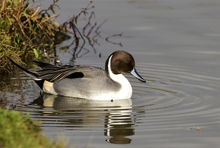 Northern Pintail | by photogramps