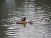 Photo:Mallard ducks (Anas platyrhynchos, マガモ) By Greg Peterson in Japan