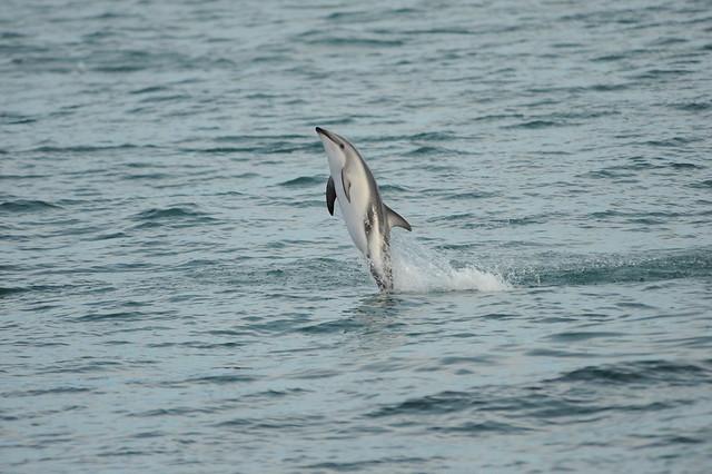 Dusky dolphin tailstand, Nikon D700, AF VR Zoom-Nikkor 80-400mm f/4.5-5.6D ED