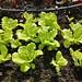 Lettuce under sunshine