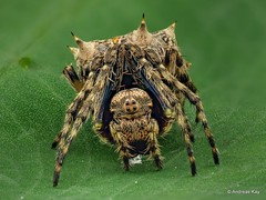 Spined Orb-weaver, Wagneriana sp.