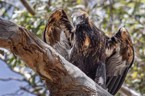 Wedge-tailed Eagle 2018-11-19 (7D_182A1901)