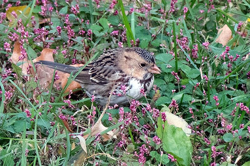 Central Park: Harris's Sparrow