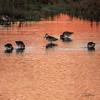 Red Ponds Of Alviso