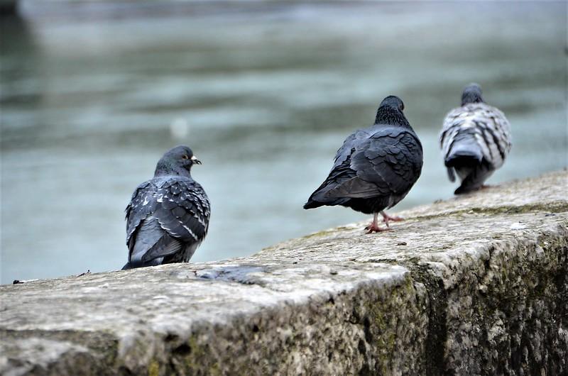 Pigeons 25.12 (8)