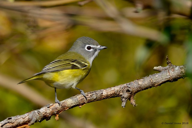 Blue headed Vireo (Explored 11/22/18), Nikon D600, AF-S Nikkor 300mm f/4D IF-ED