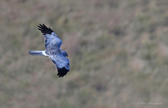 """Hen Harrier Grey Ghost very rare in UK but should not be"""