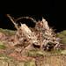 Mating lichen-mimicking longhorn beetles by Arthur Anker