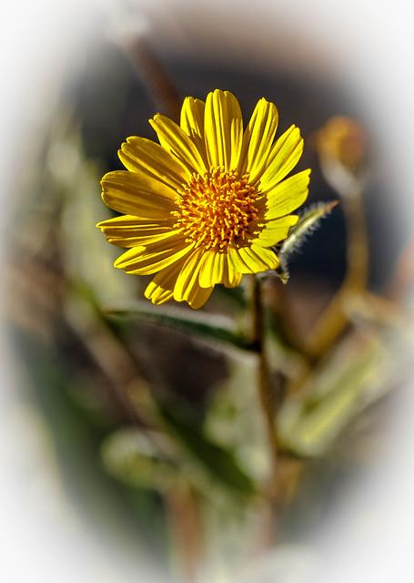 Vignetted Desert Sunflower