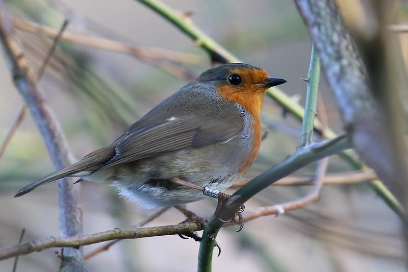Ringed Robin