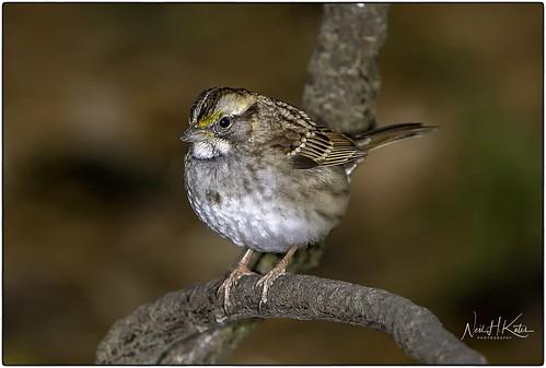 White Throat Sparrow_DSC5876 photoshop NIK edit ©