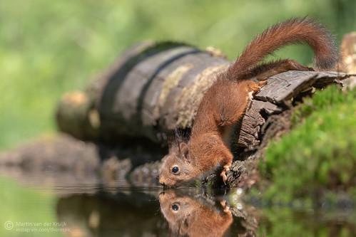 Red Squirrel (juv) - Rode Eekhoorn (jong)