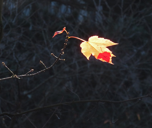 The last two (or three) maple leaves on the tree outside my window