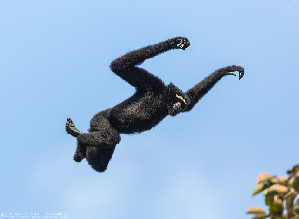 Male Western Hoolock Gibbon in Gibbon WLS, Assam, north east India by Arindam Bhattacharya