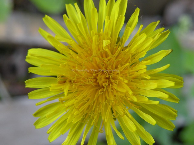 089 Dandelion (Medium), Nikon COOLPIX P80