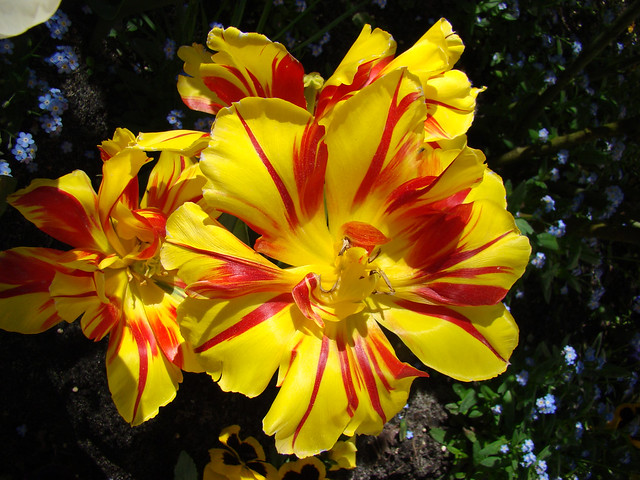 Tulipe a trois fleurs-Hacienda., Sony DSC-H9