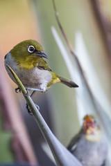 Madagascar White-eye