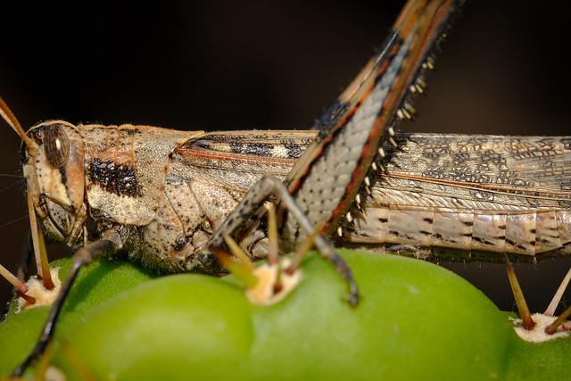 Locust 8564