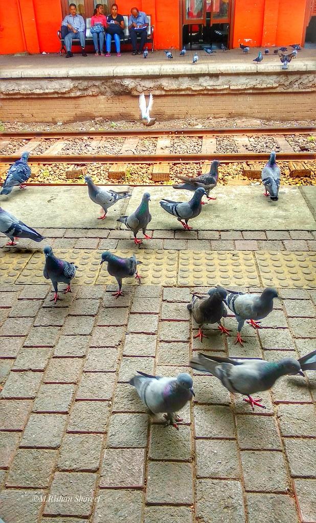Group Of Doves At Maradana Railway Station Srilanka Bird