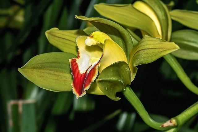 Cymbidium lowianum; Orchidaceae (1), Canon EOS 1100D, Canon EF 50mm f/2.5 Macro
